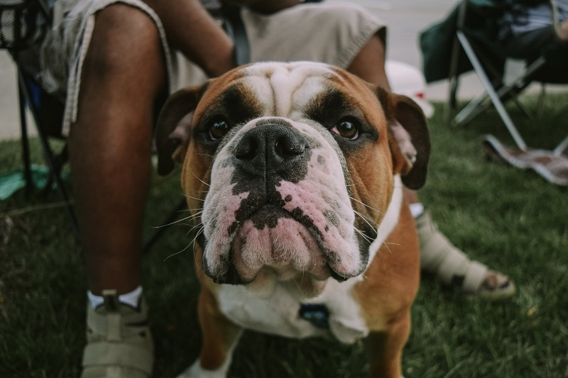 A white, brown and black bulldog sits in the park