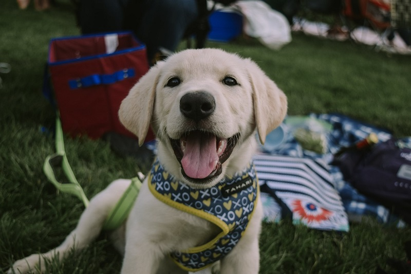 Yellow lab puppy sits in the grass at the park