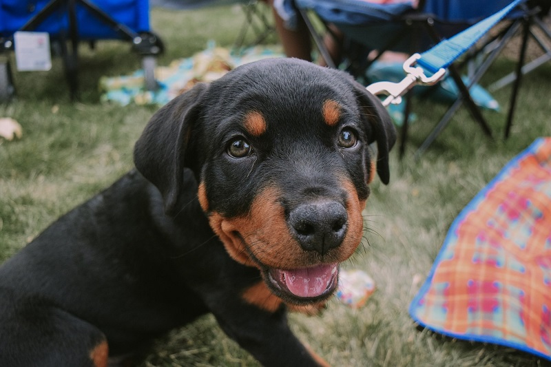 A rotweiller puppy sits in the grass.