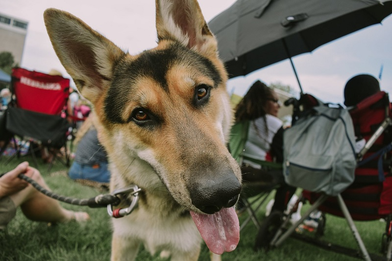German Shepherd dog looks at the camera with its tongue out